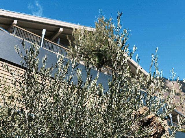das-stachelburg-olivenbaum.jpg